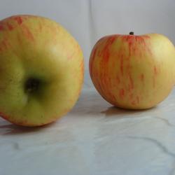 Pomme Elstar x 500g
