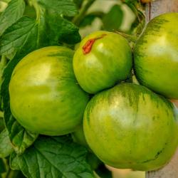 Tomate Verte Zebra X 600G